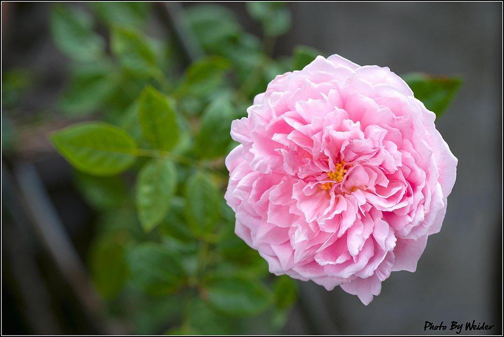 安蓓姬 Ambridge Rose