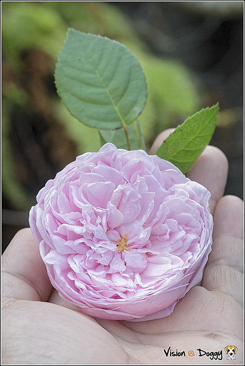 pic-20180304-01-Cottage-rose.png