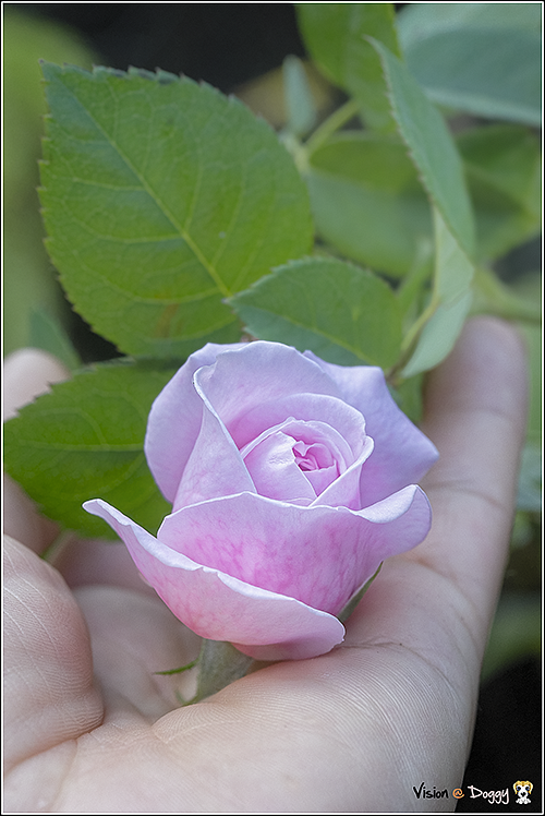 pic-20180304-02-Cottage-rose.png
